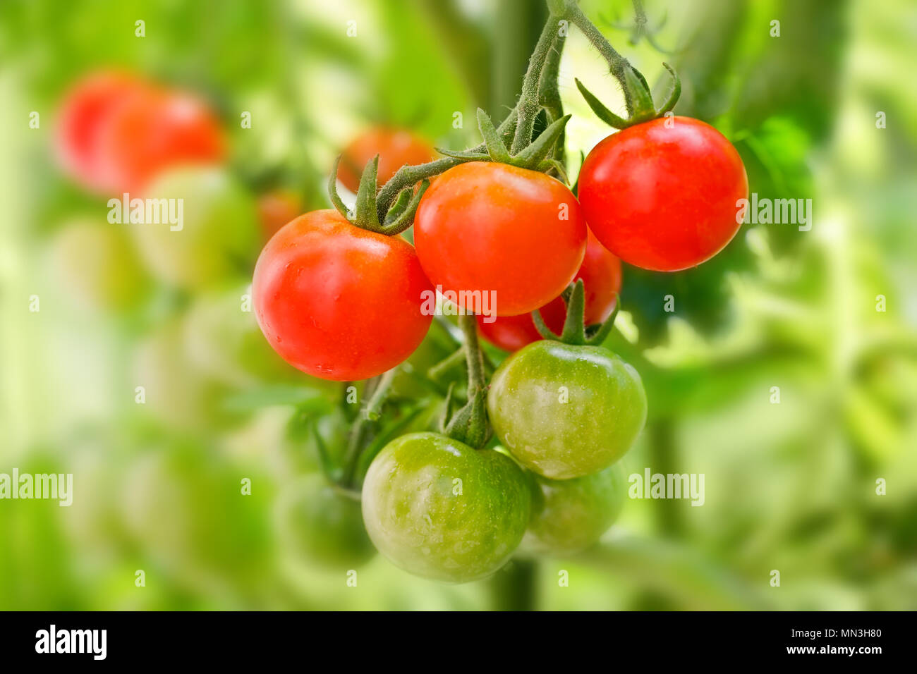 Close up of cherry tomatoes growing in a vegetable garden - Stock Image