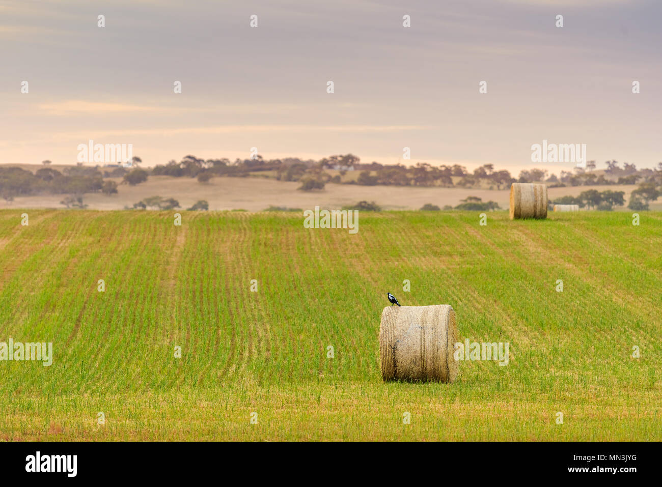 Magpie sitting on round hay bale on the field after harvest in McLaren Vale, South Australia - Stock Image
