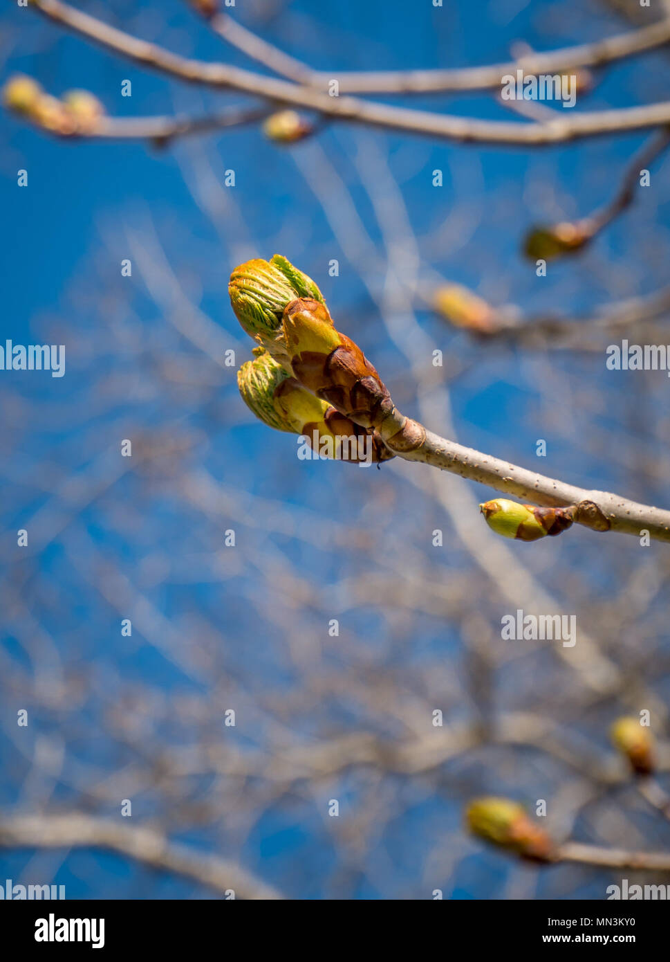 Little bud is breaking out - Stock Image