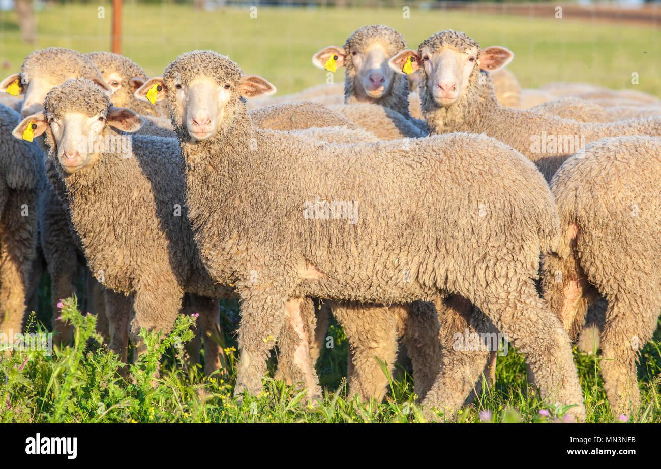 A flock of merina sheep at Extremadura dehesa, Spain. Closeup at sunset - Stock Image