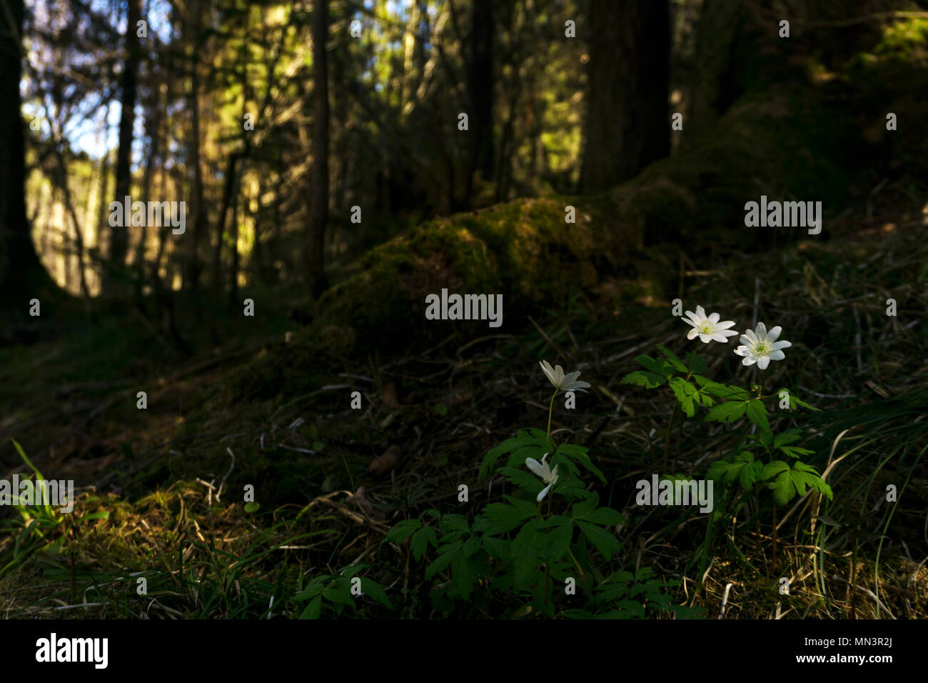 white flowers snowdrops in a dark forest thicket on a sunny spring day, taken from the ground level Stock Photo