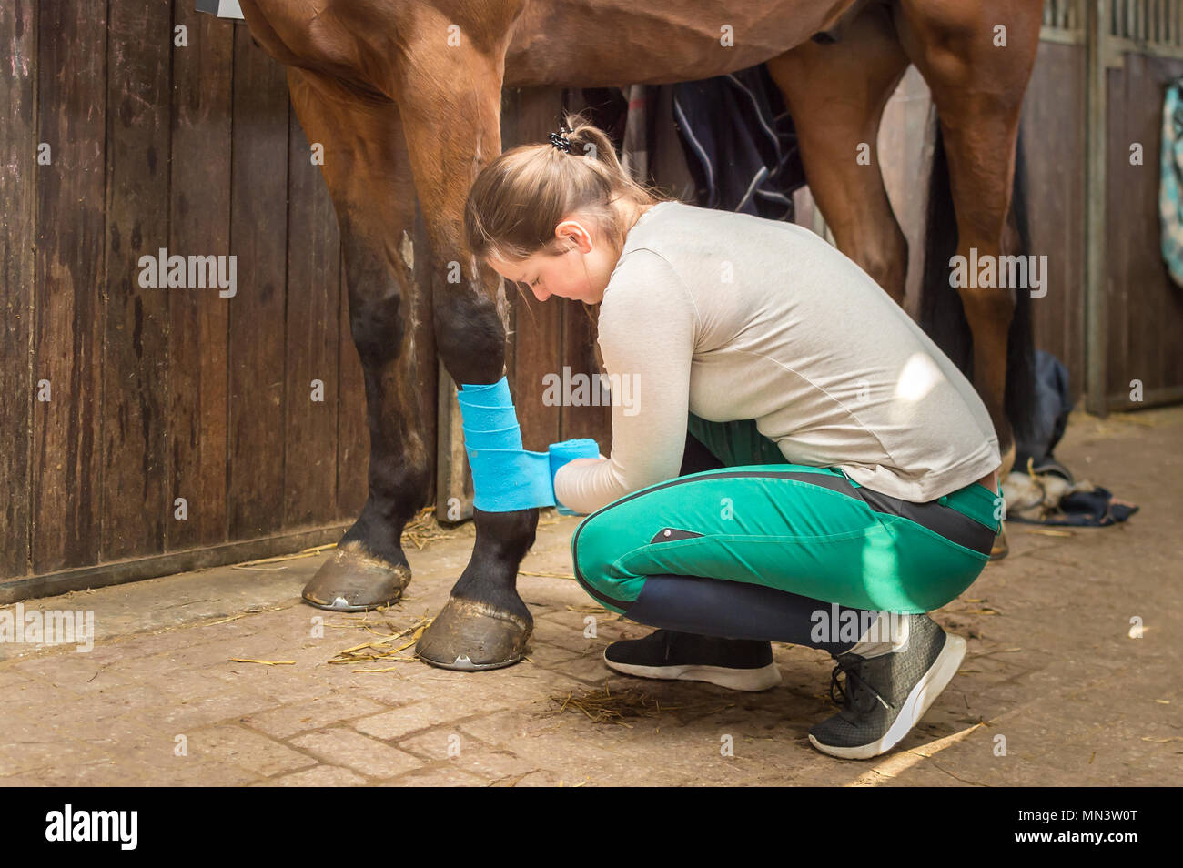 A young woman is squatting on the stable floor. She connects the legs of her horse with bandages. The rider protects the horse legs of her Hanoverian. - Stock Image