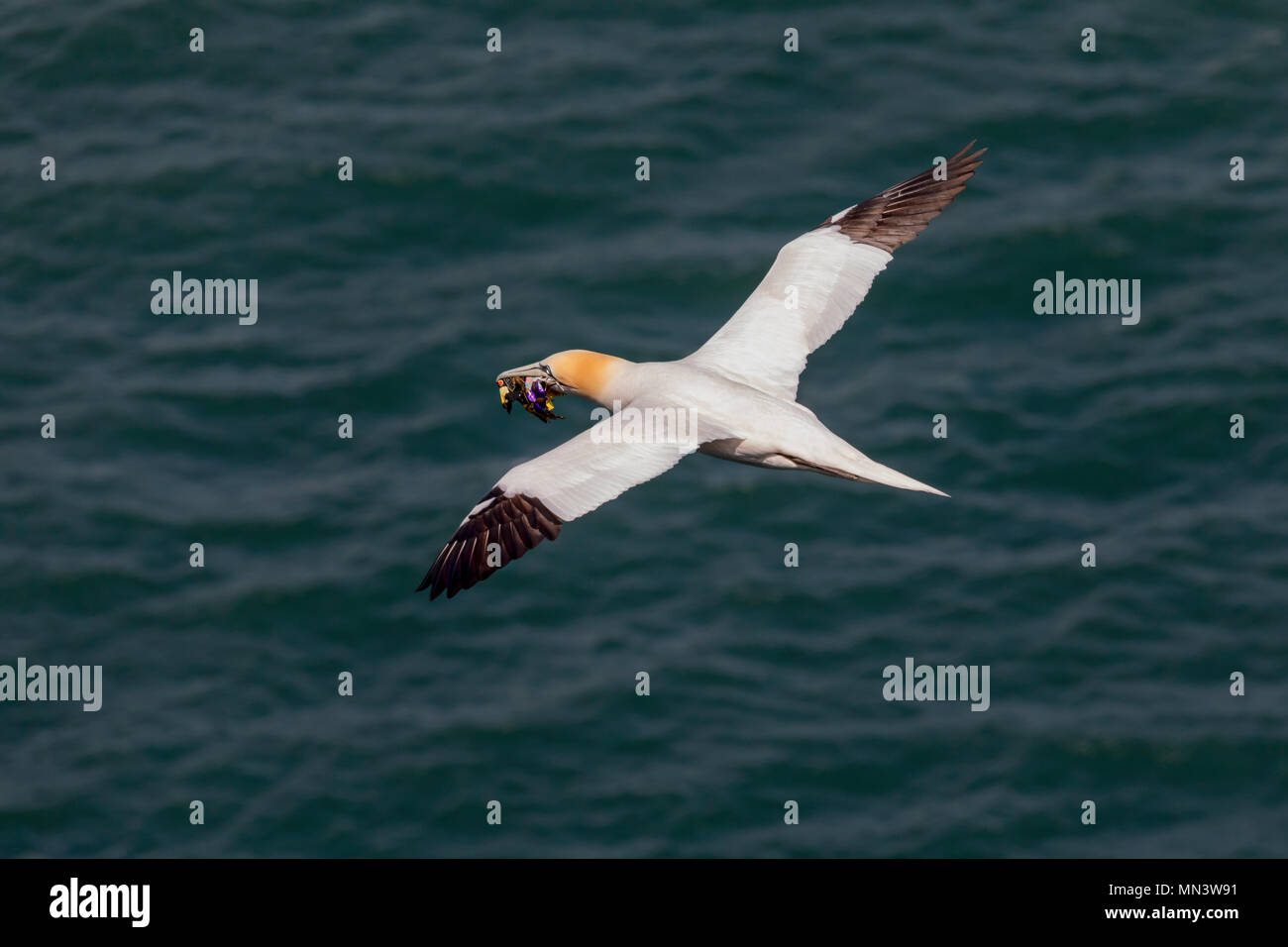 Nest building sea bird flying over ocean carrying candy wrappers in its beak - Stock Image