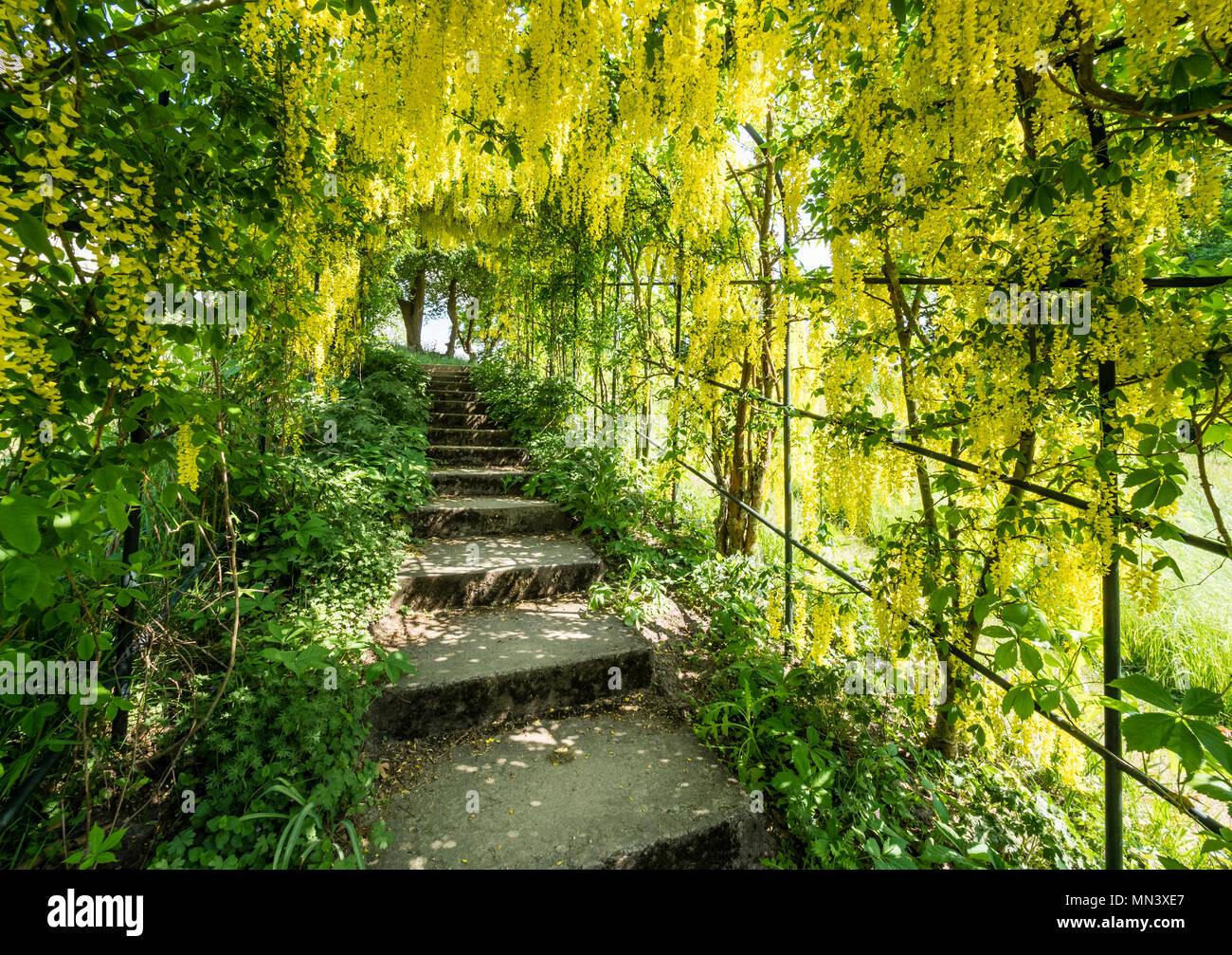 Passage covered by Golden rain, Laburnum anagyroides, garden 'Heilpflanzengarten', Celle, Germany Stock Photo
