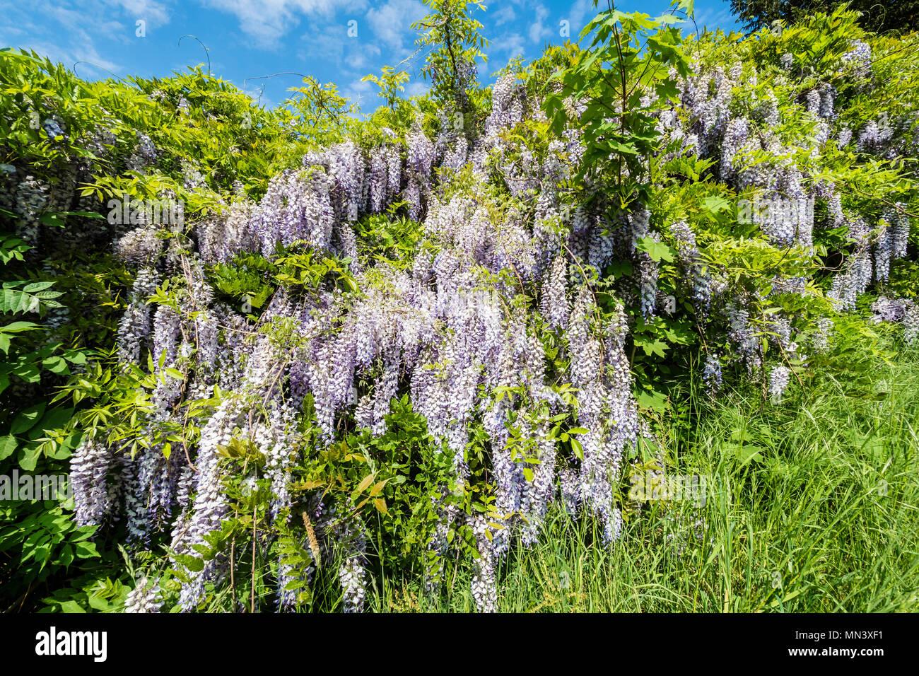 Blauregen, Chinese wisteria, garden 'Heilpflanzengarten', Celle, Germany Stock Photo