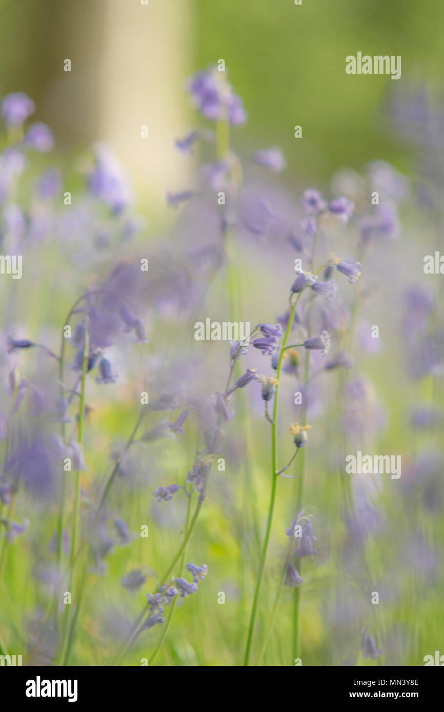Soft an dreamy bluebells in woods - Stock Image