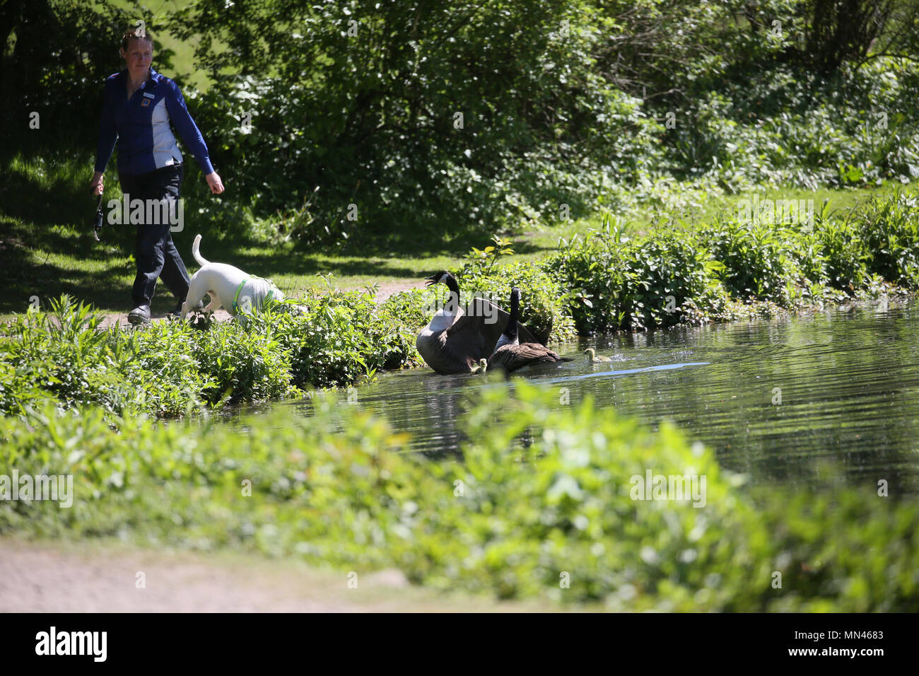 Queens Park, Heywood, UK. 14th May 2018. Canadian Geese protecting their young from an inquisitive Staffordshire Bull Terrier in Queens Park, Heywood,14th May, 2018 (C)Barbara Cook/Alamy Live News - Stock Image
