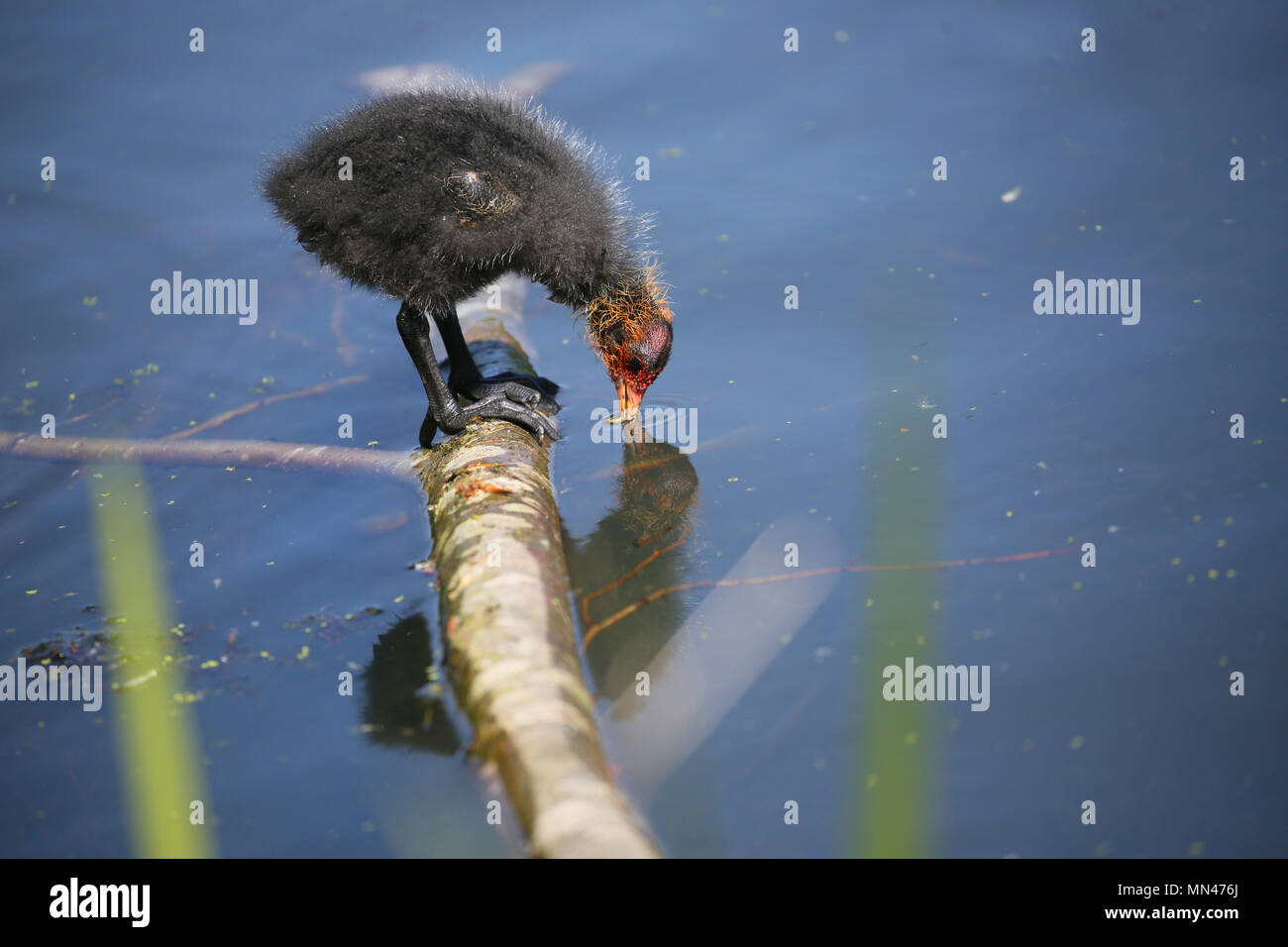 Heywood, UK. 14th may 2018. Recently born Coot Chicks  in Queens Park, Heywood,14th May, 2018 (C)Barbara Cook/Alamy Live News - Stock Image