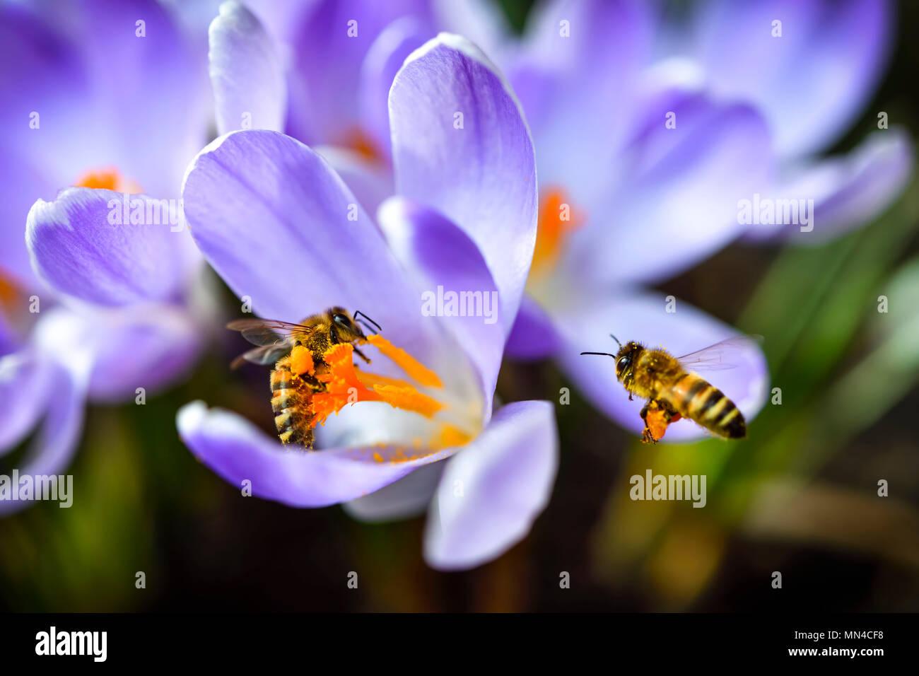Honey bees (Apis mellifera) on crocus flowers in spring, Honigbienen (Apis mellifera) auf Krokus-Blüten im Frühling Stock Photo