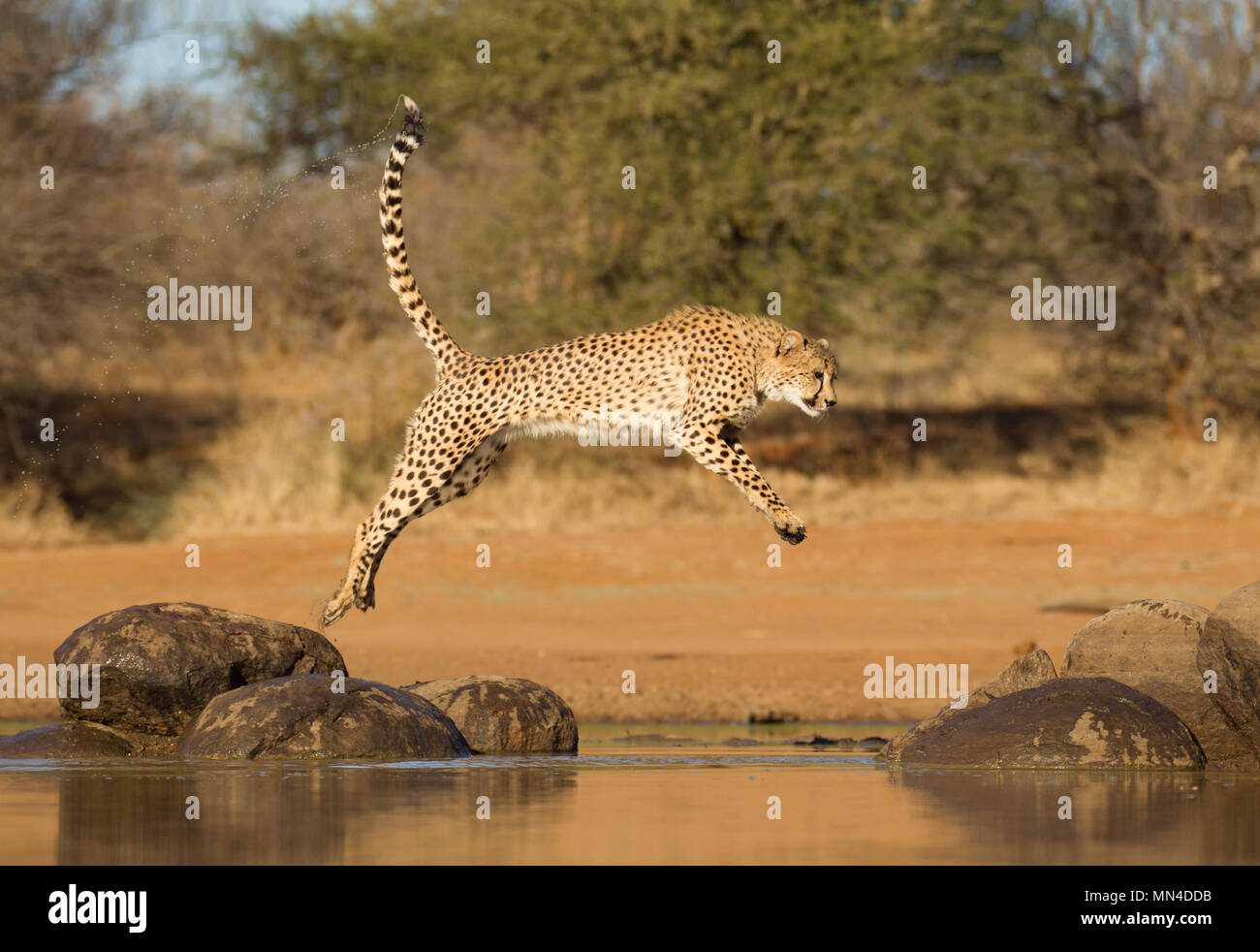 Cheetah leaping between two rocks over some water, South Africa (Acinonyx jubatus) - Stock Image