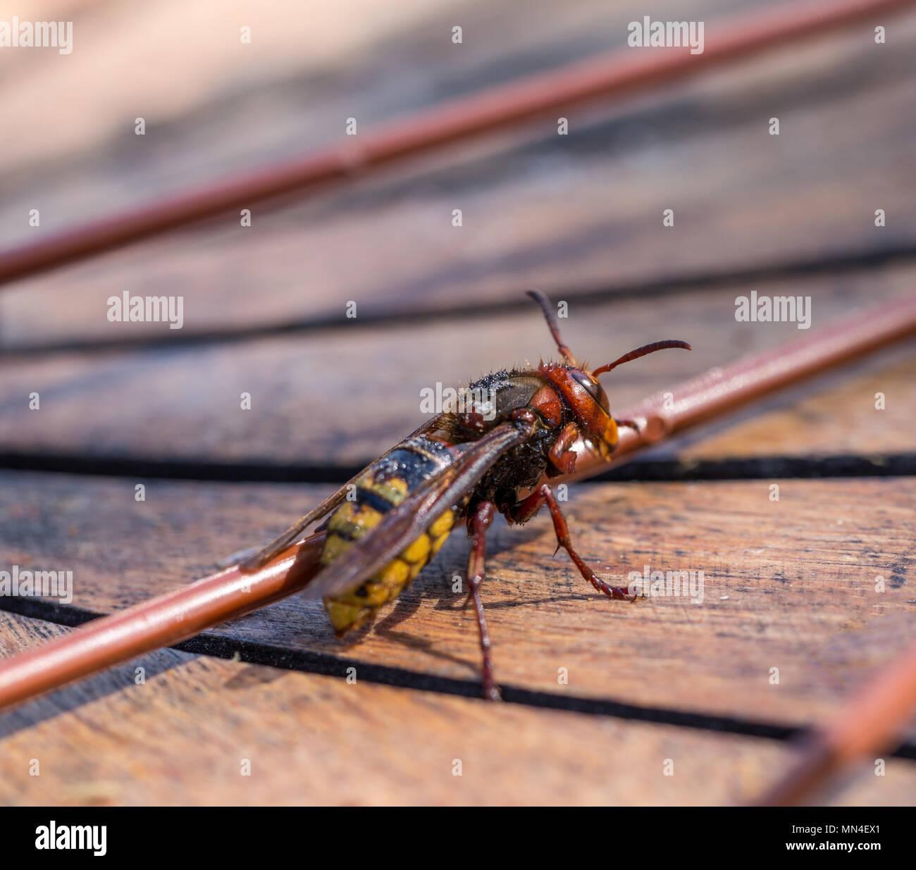 European hornet Vespa crabro  - Stock Image