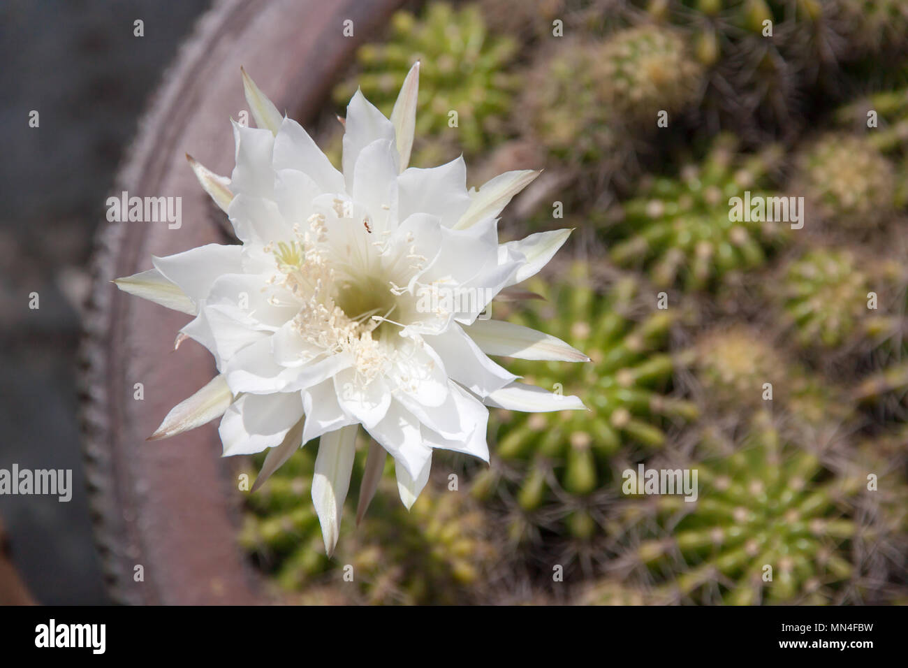 White Cactus Flower Closeup Under Morning Sun Light Nature