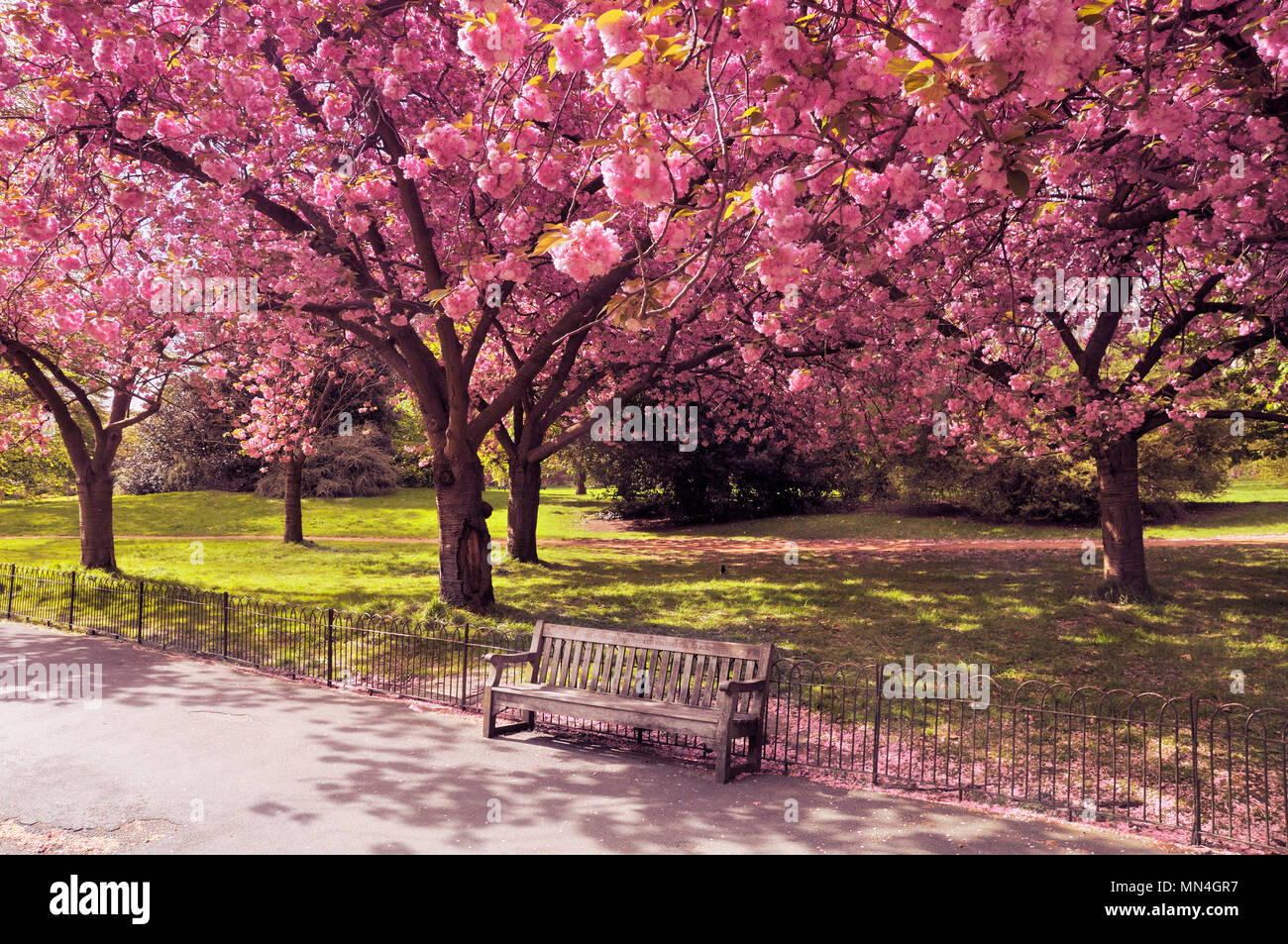 An empty park bench under a canopy of cherry blossom trees, London, England, UK - Stock Image