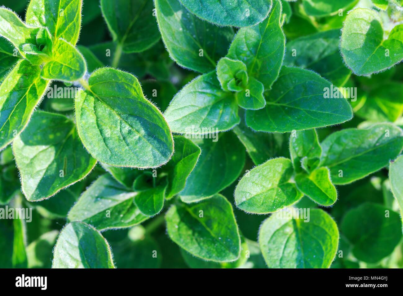 Fresh oregano growth in the garden - Stock Image