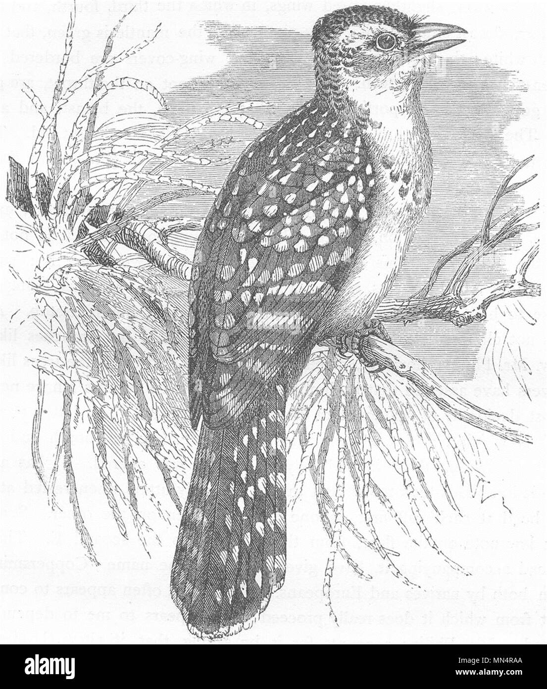 BIRDS. Searcher. Cuckoo. Pearl Bird c1870 old antique vintage print picture - Stock Image
