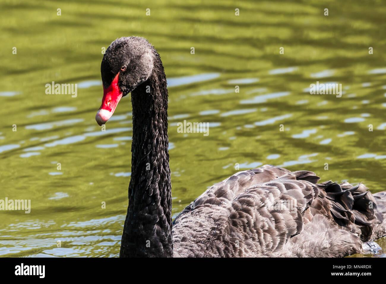 Black Swan at Chartwell, Kent, UK - Stock Image