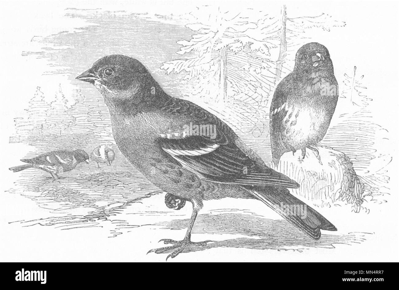 BIRDS. Passerine. Finch. Mountain c1870 old antique vintage print picture - Stock Image