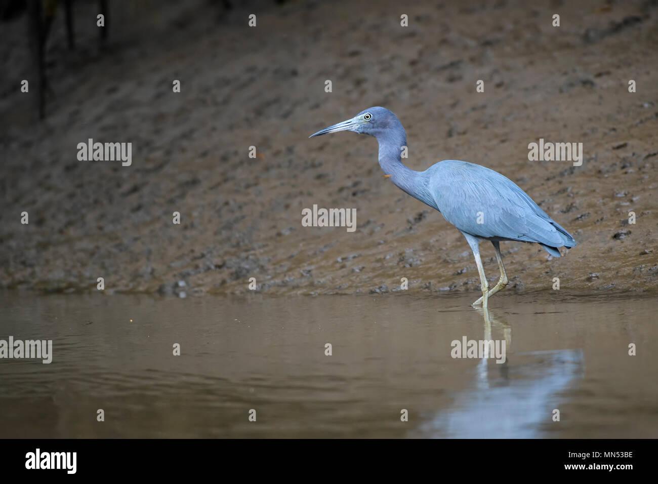 Little Blue Heron - Egretta caerulea, blue gray heron from New World fresh waters and mangrove, Costa Rica. - Stock Image