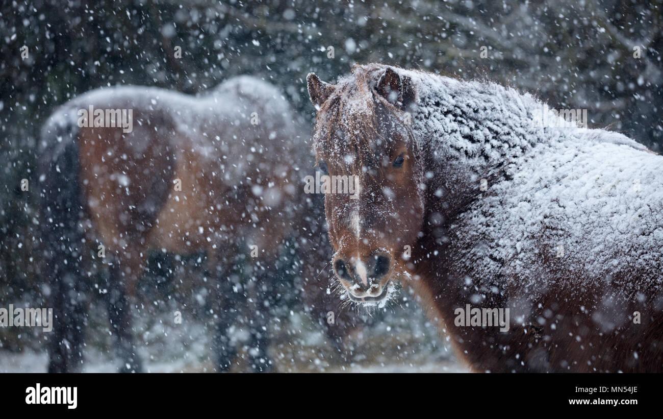 Ponies in the snow in winter, Milborne Port, Somerset, England, UK - Stock Image