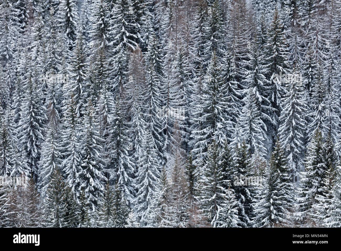 Snow on trees, La Tzoumaz, Valais, Switzerland, - Stock Image