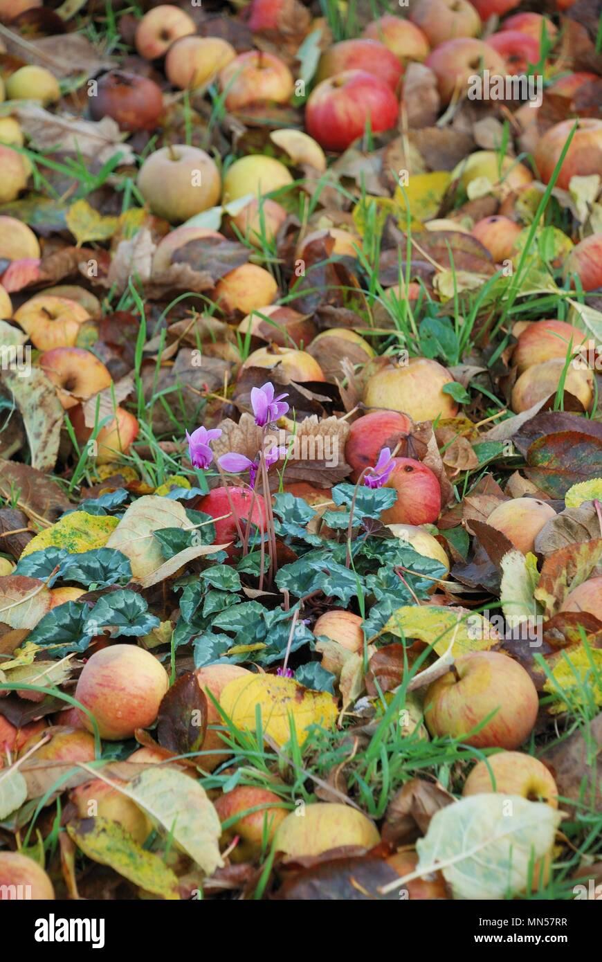 Apple cider - Stock Image