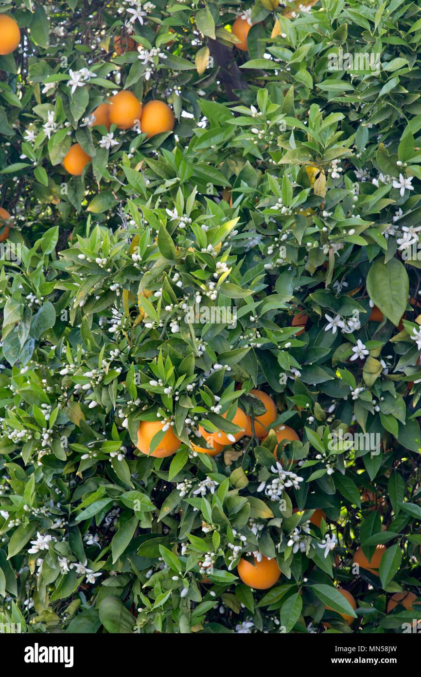 Cutter nucellar Valencia flowering tree, Oranges  'Citrus sinensis'. - Stock Image