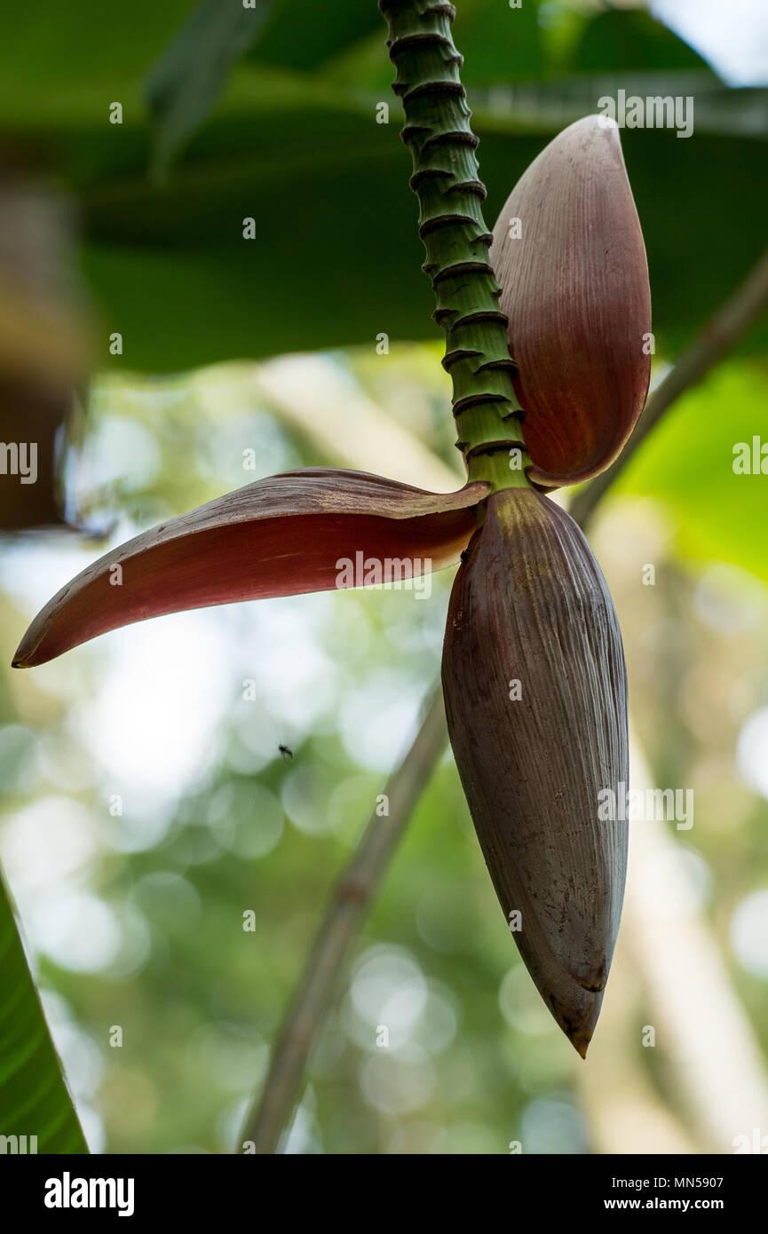 Flower of Wild Banana, Musa acuminata, Musaceae, Carara National Park, Costa Rica, Centroamerica - Stock Image
