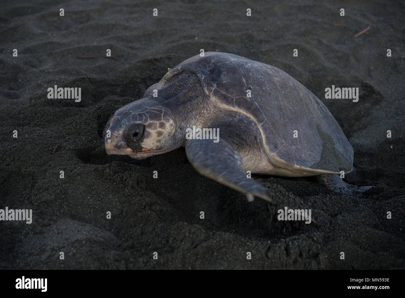 Olive Ridley Green Turtle, Lepidochelys olivacea, during spawning, Cheloniidae, Carate Beach, Corcovado National Park, Costa Rica, Centroamerica - Stock Image