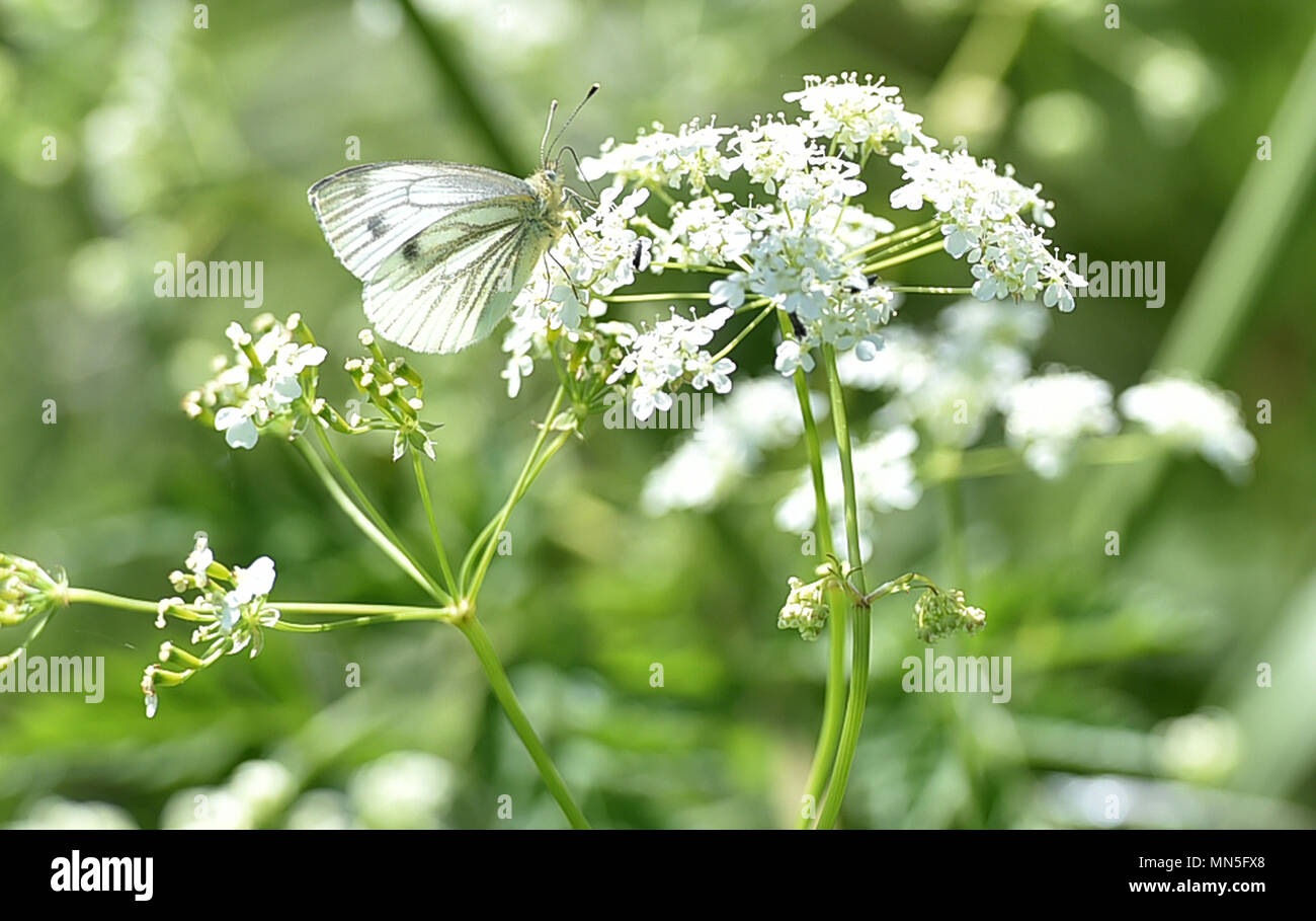 Wood white Butterfly sat upon cow parsley flower on the Salisbury Plain in Wiltshire UK - Stock Image