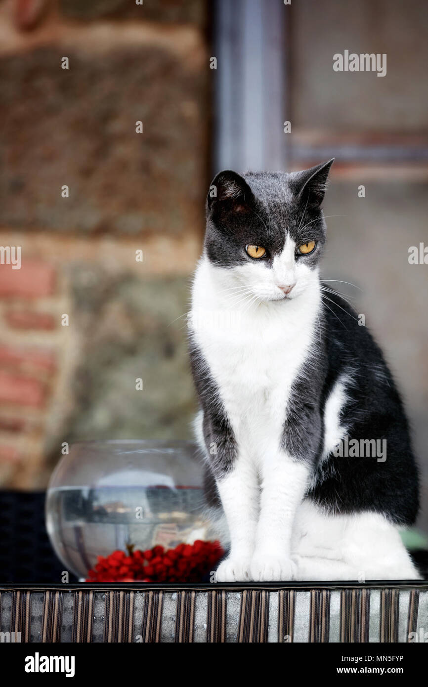 Beautiful black and white furry cat with a tense look sitting near a fishbowl - Stock Image