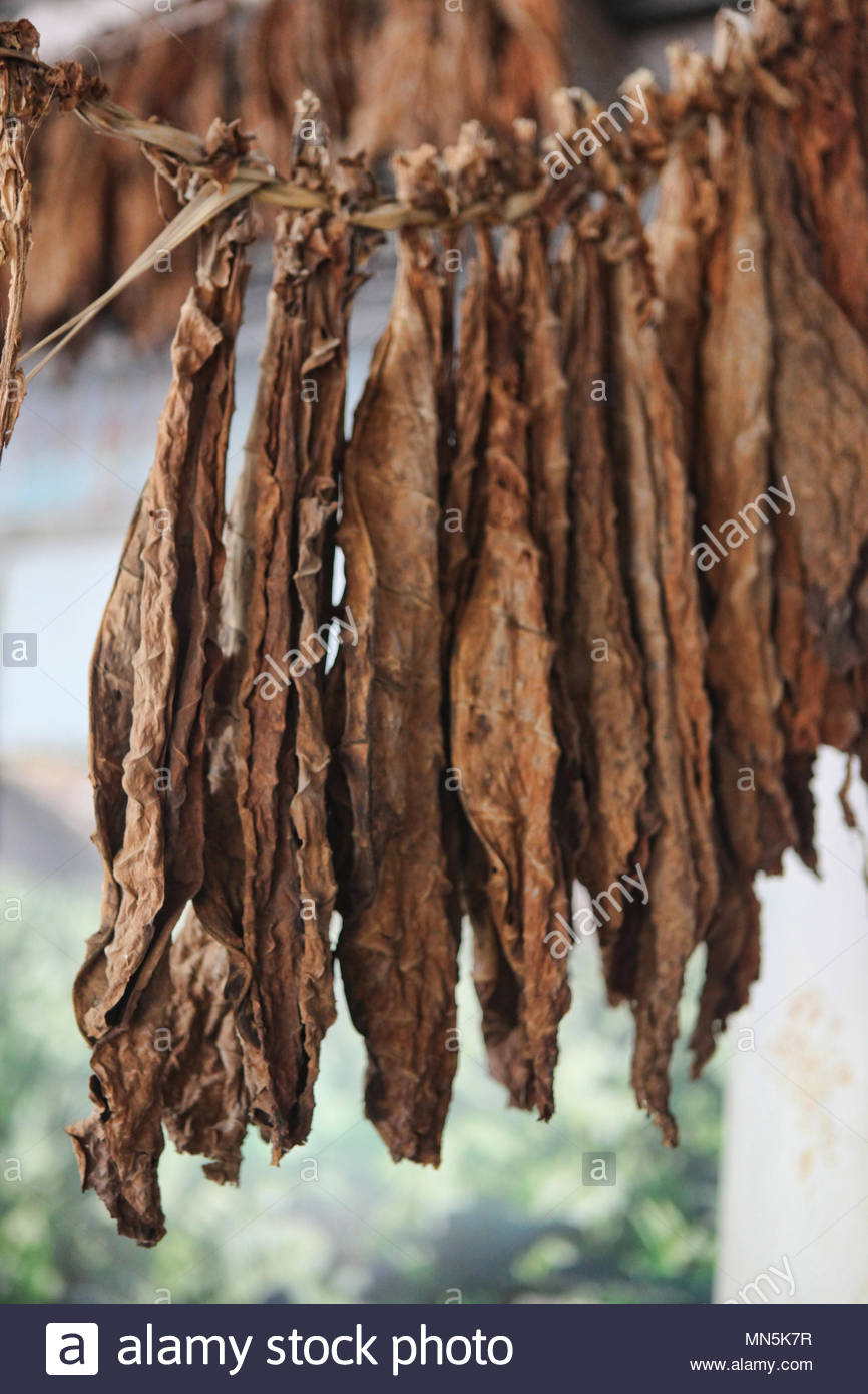 Tobacco leaves hang and dry at a cigar factory in the Dominican Republic. - Stock Image