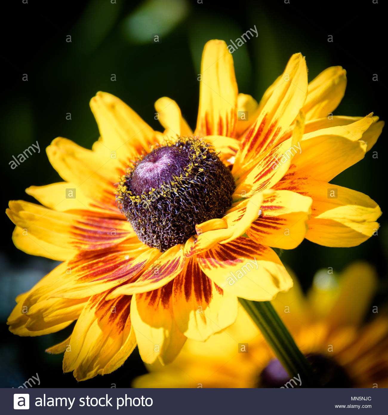 Black Eyed Susans A Vibrant Yellow Flower With A Purple Center