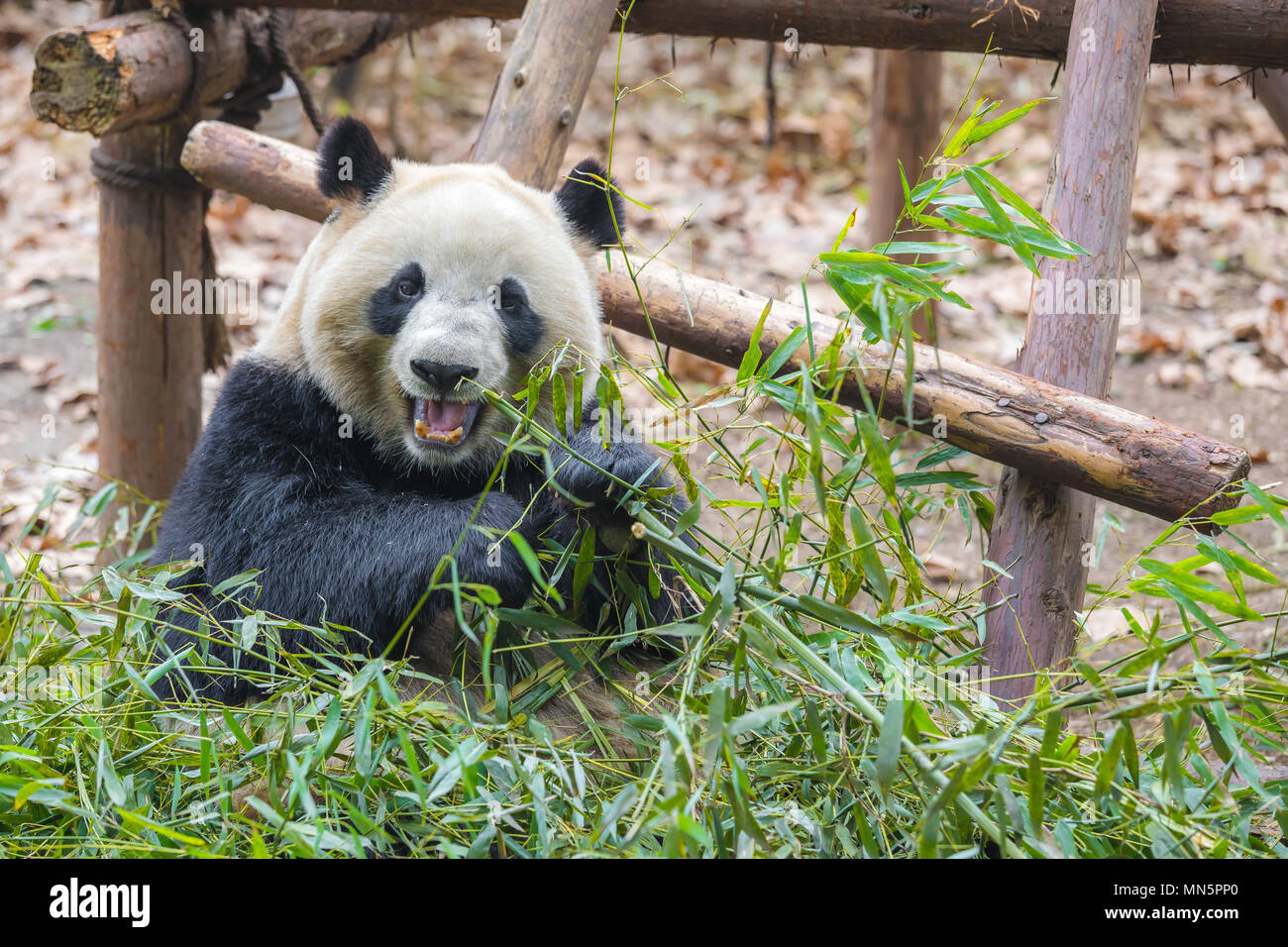 Portrait of a giant panda eating bamboo . . Stock Photo