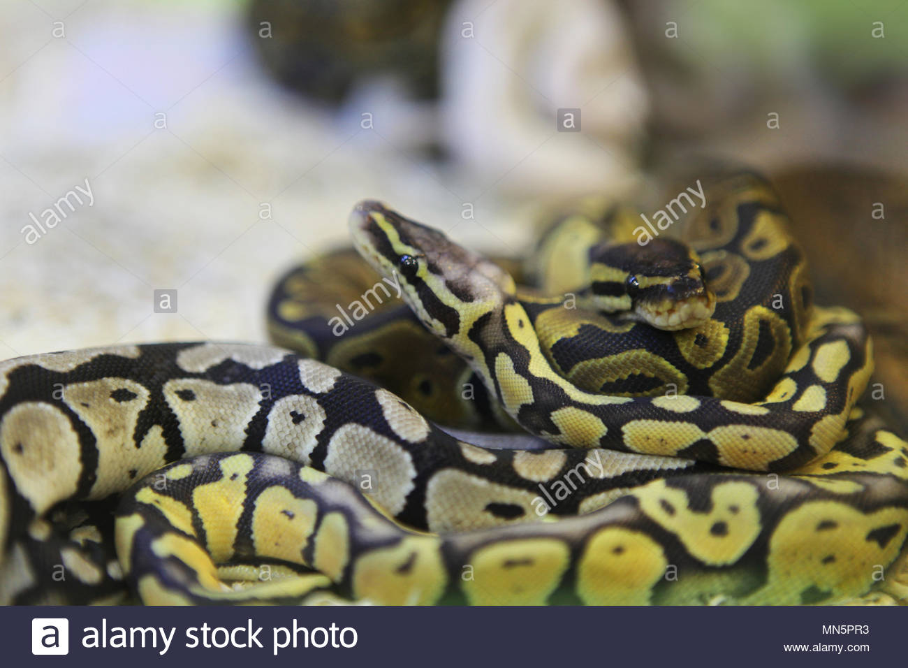 Super Pastel Orange Ghost Ball Pythons (males) at an exotic reptile