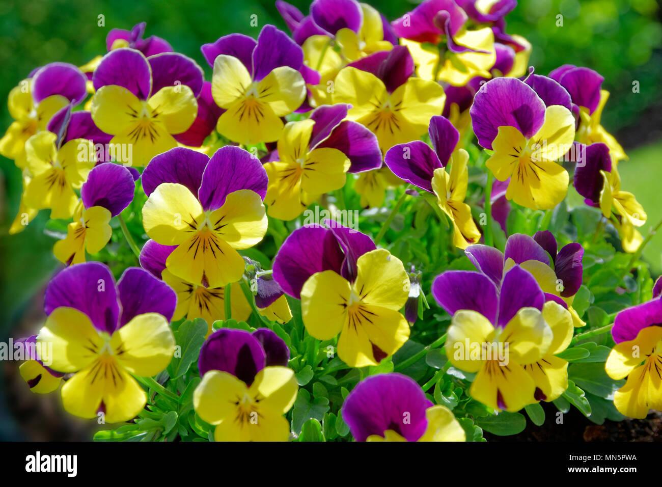 Pansies. - Stock Image