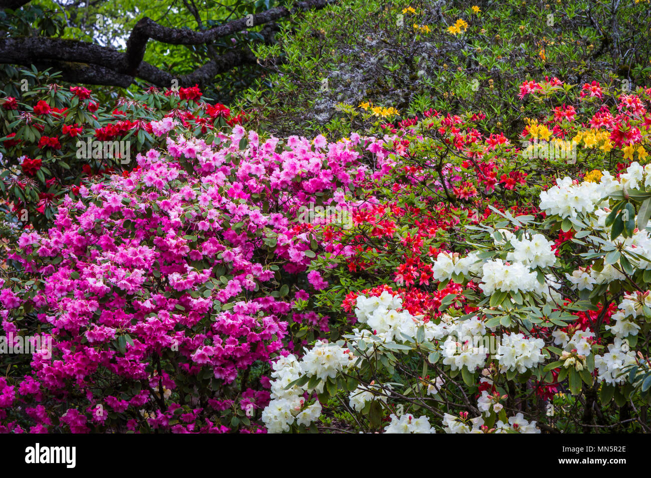The Crystal Springs Rhododendron Gardens in Portland, Oregon, USA. - Stock Image