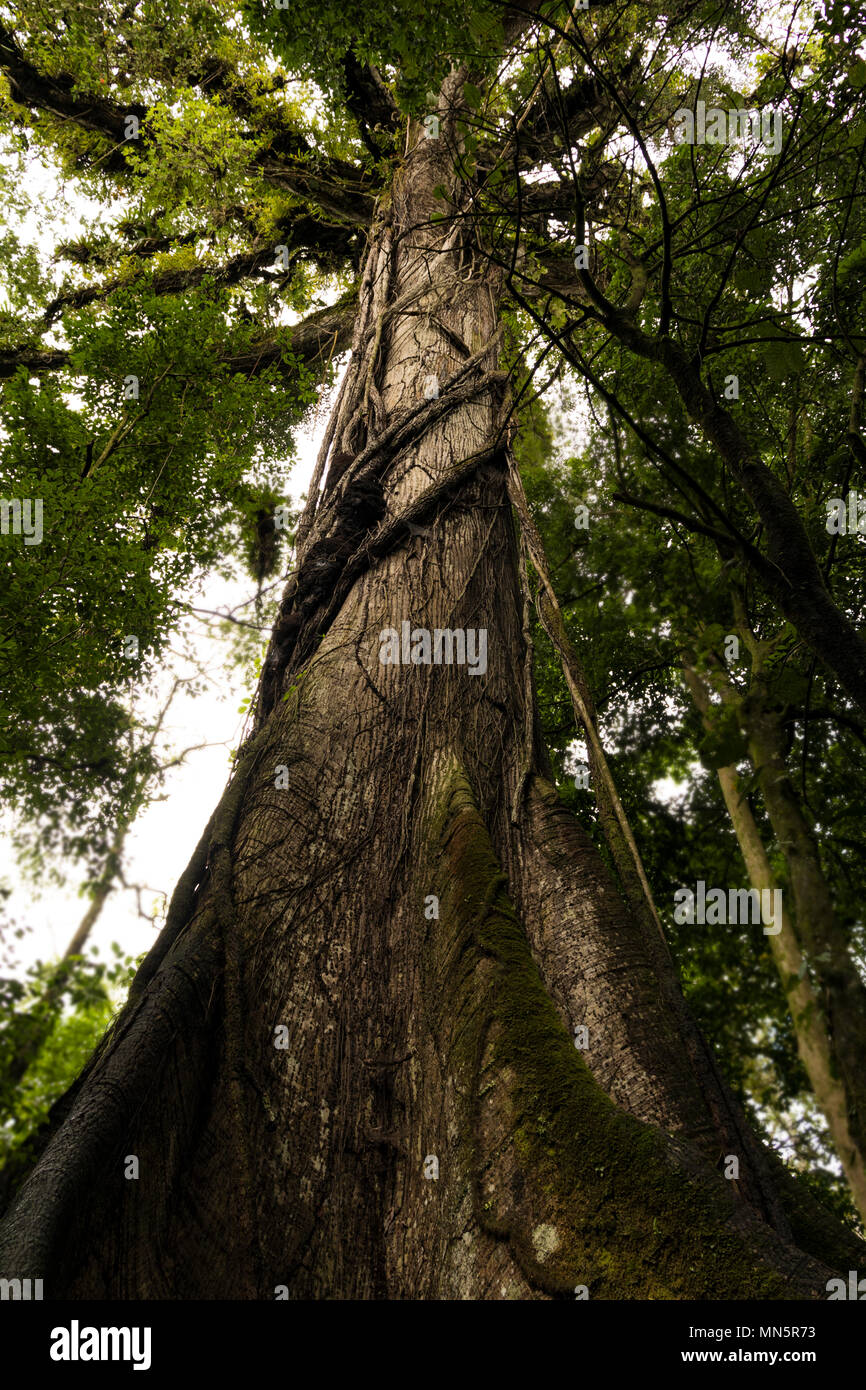 Strangler tree wrapped around a giant buttress root tree in the rainforest of Costa Rica's National Park. Stock Photo