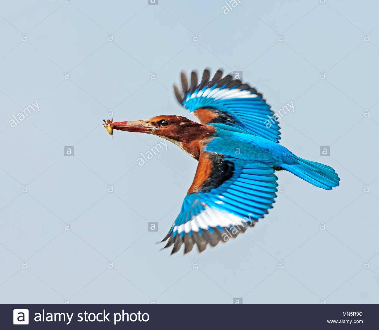 White-throated kingfisher with a snack in the air. - Stock Image