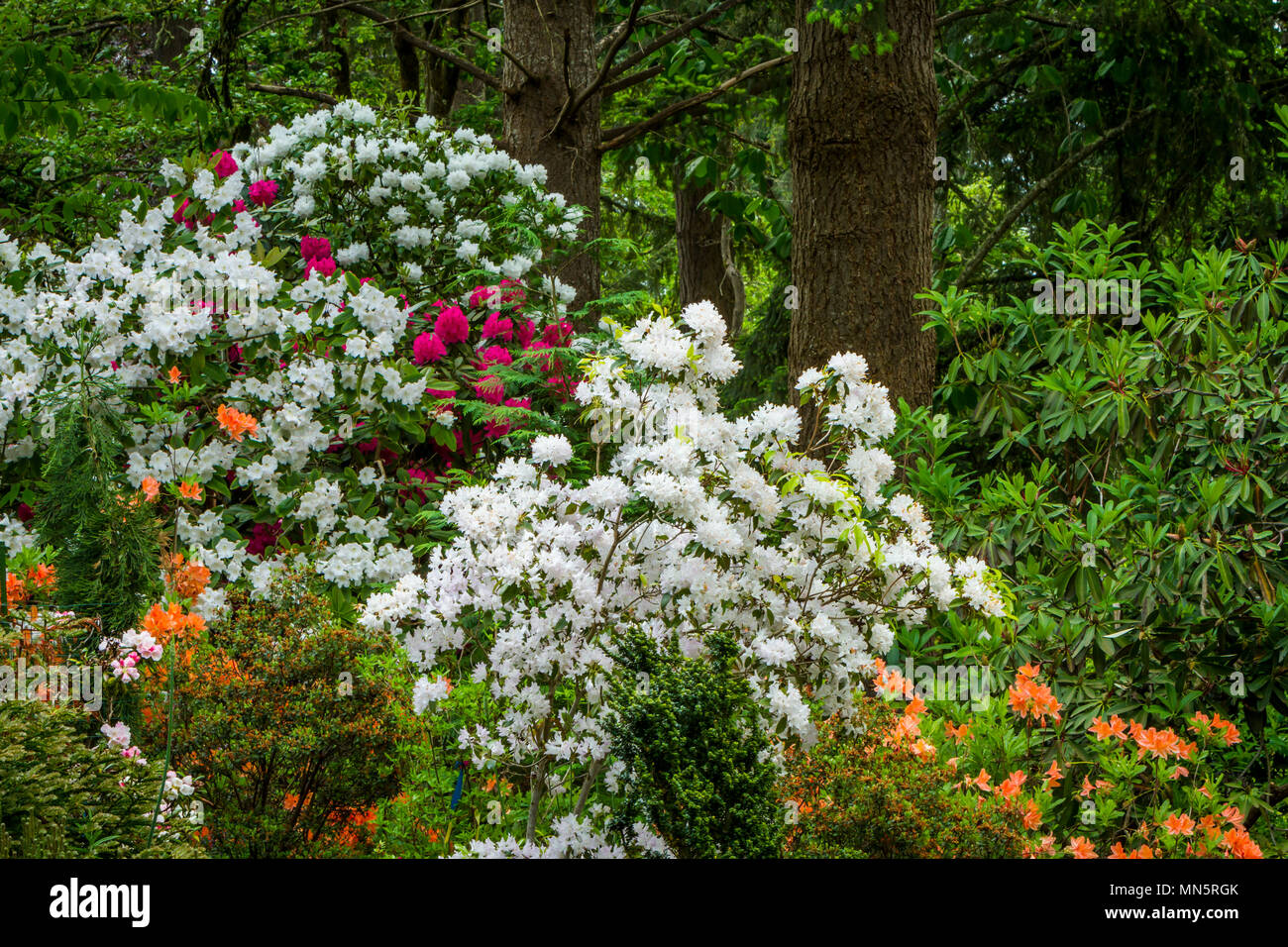 Hendricks Park, Rhododendron Gardens in Eugene, Oregon, USA. - Stock Image