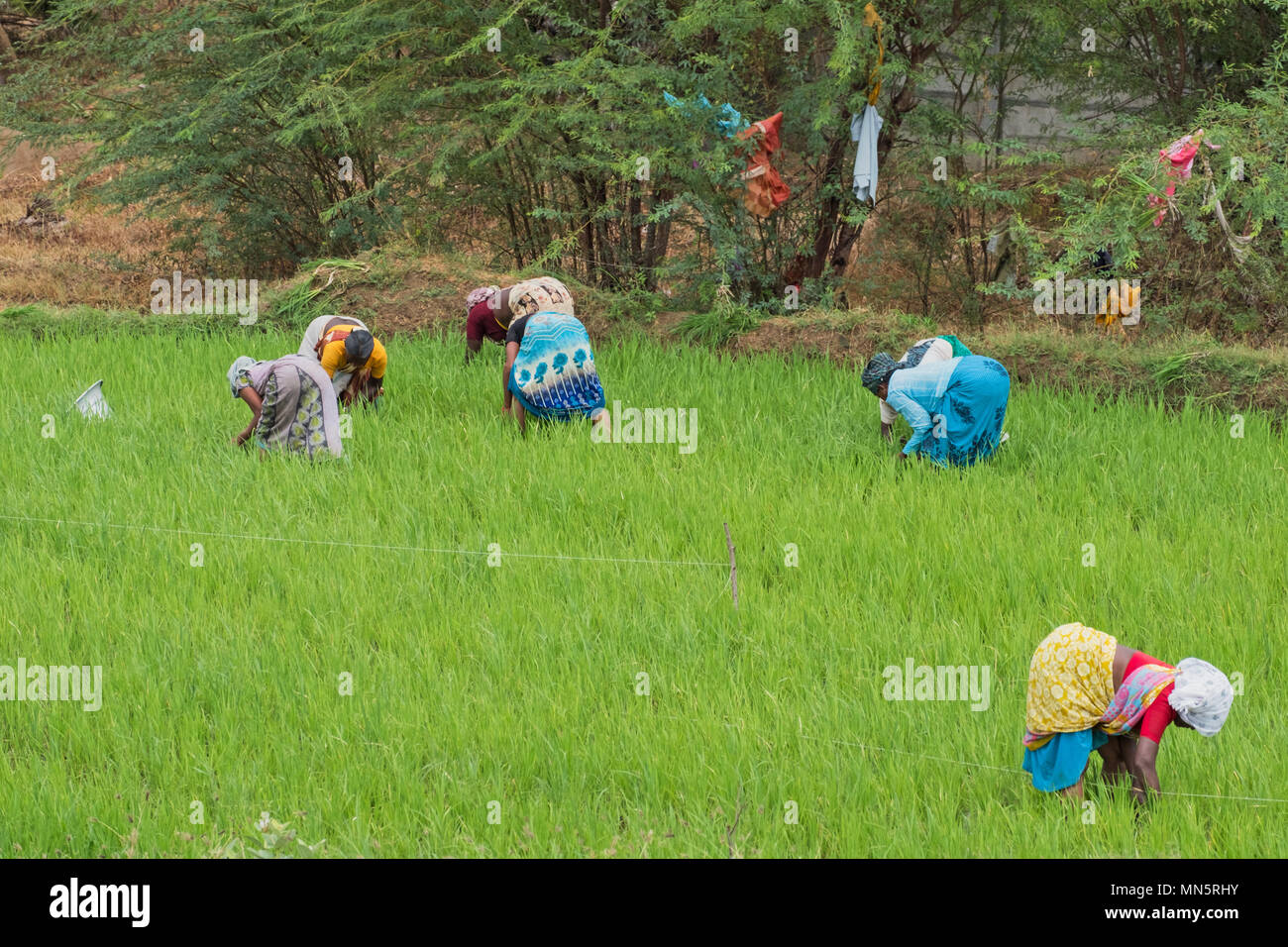 Thanjavur, India - March 13, 2018: Agricultural workers in a rice paddy in Tamil Nadu state - Stock Image