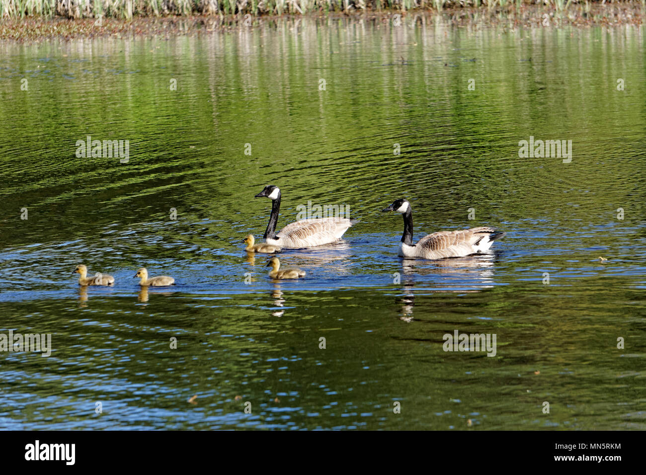 pair-of-canada-geese-with-goslings-swimm