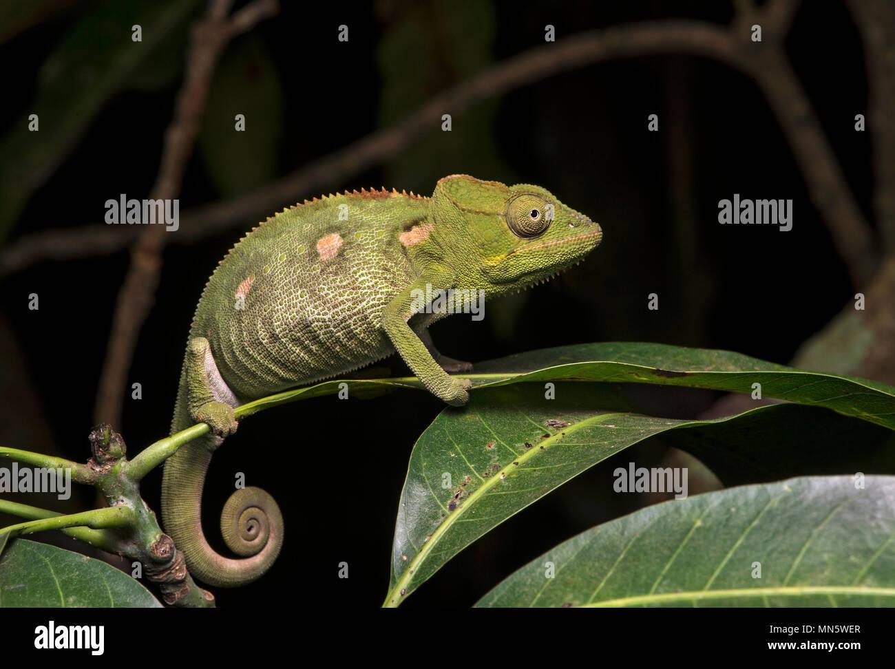 Chameleon Furcifer oustaleti, (Chameleonidae), Antananarivo, Madagascar - Stock Image