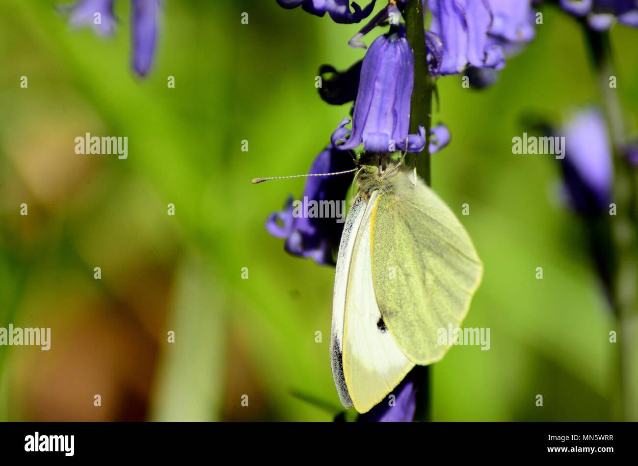 Large white butterfly feeding on bluebell, UK - Stock Image
