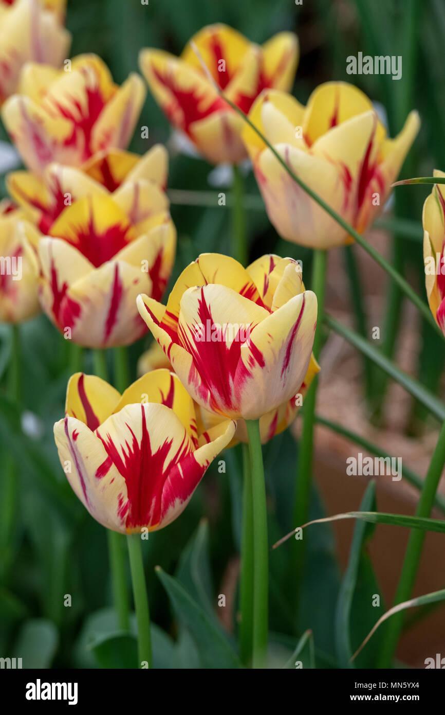 Tulipa Triumph 'Helmar'. Tulip 'Helmar' flower display. UK Stock Photo