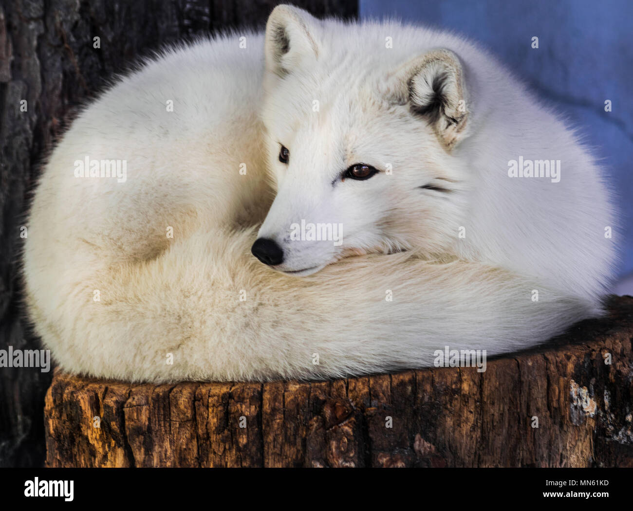 Arctic fox (Vulpes lagopus) resting on a trunk and looking to the left - Stock Image