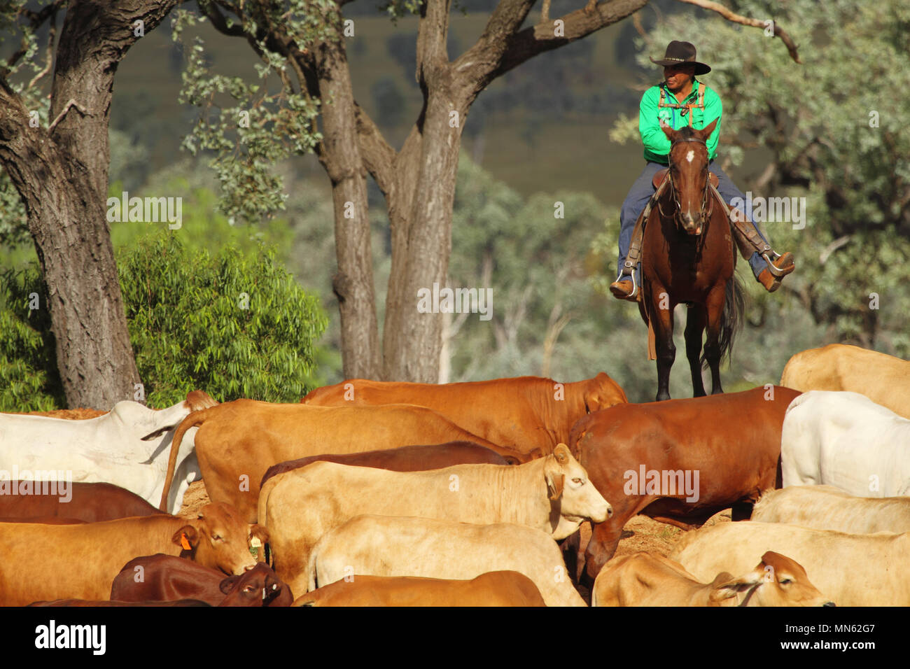 Aboriginal man riding horse and mustering cattle on a farm. - Stock Image