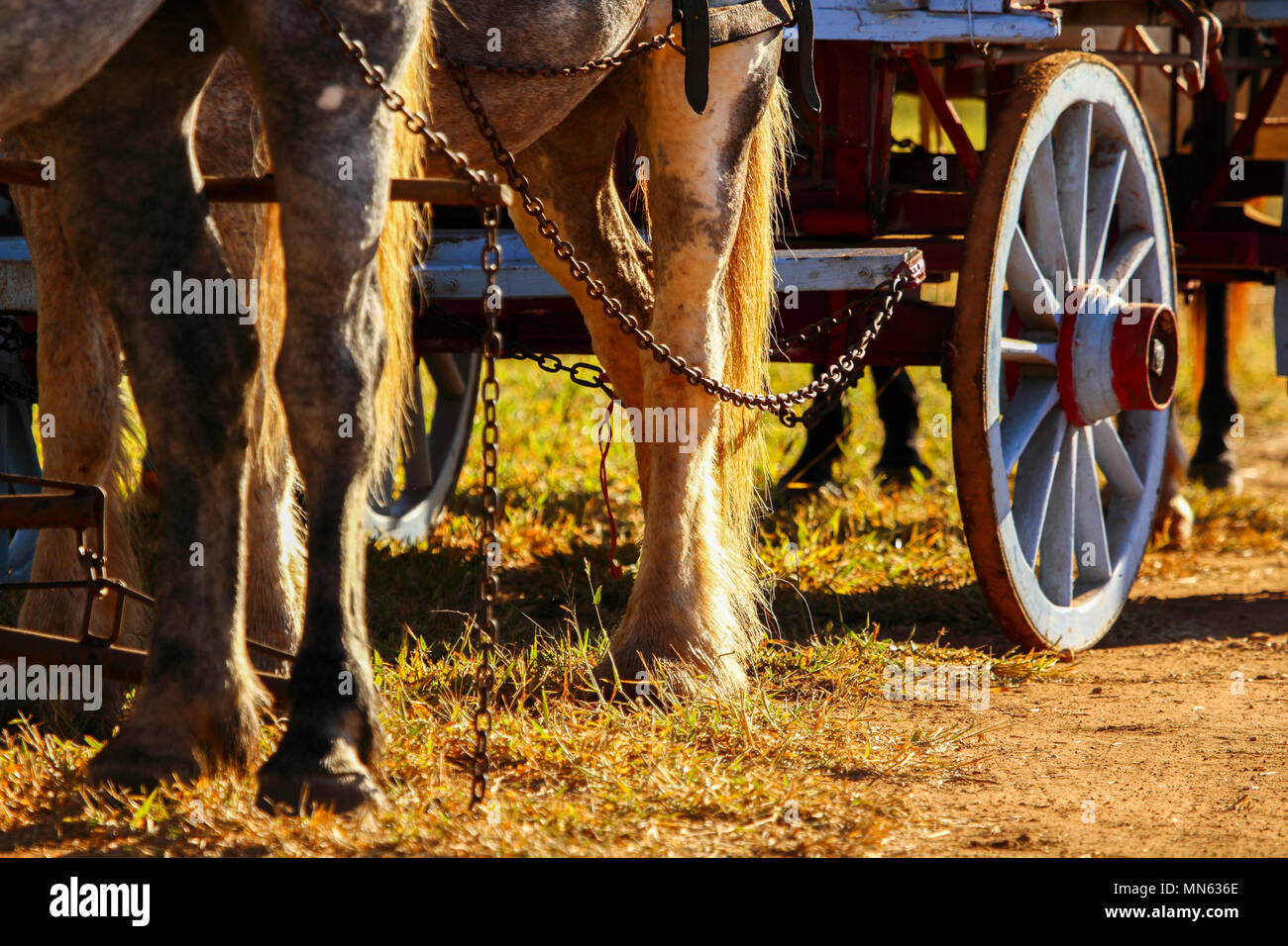 Closeup of harnessed horses legs and hooves pulling a wagon. - Stock Image