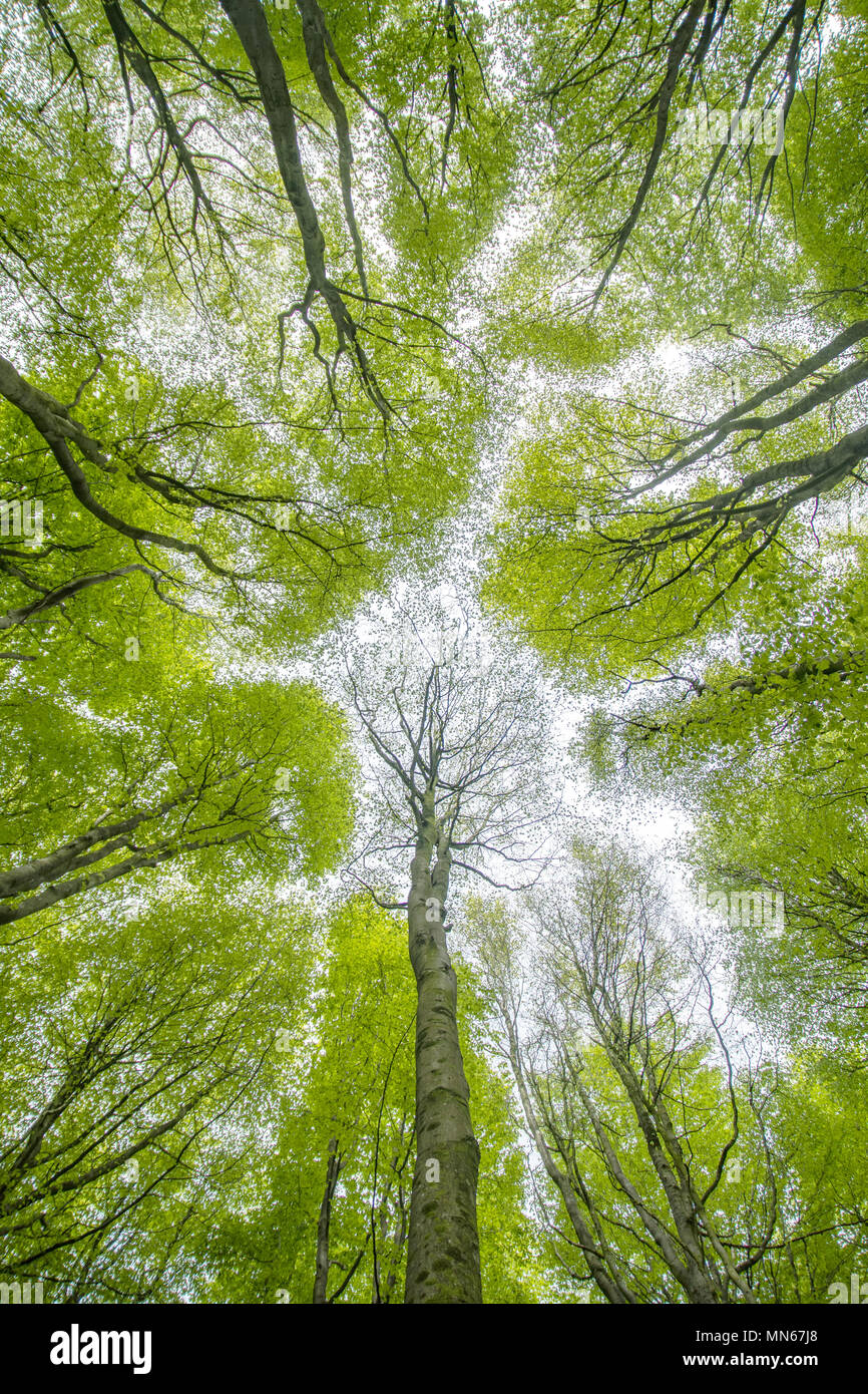 Looking up at the tree canopy patterns - Stock Image