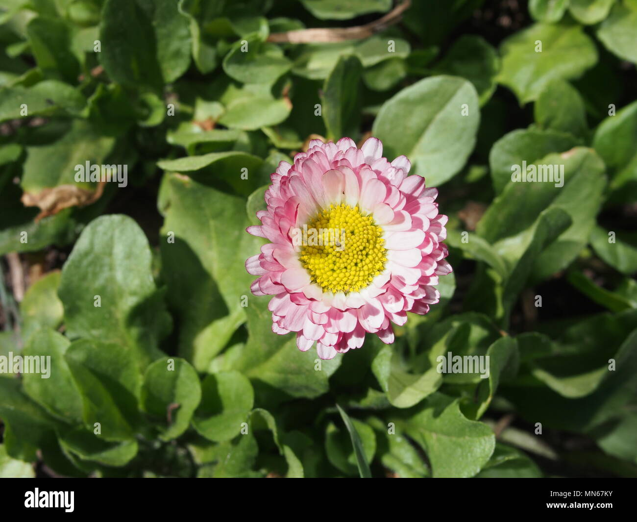 Blooming pink Bud daisies. Garden flower. Close up. Stock Photo