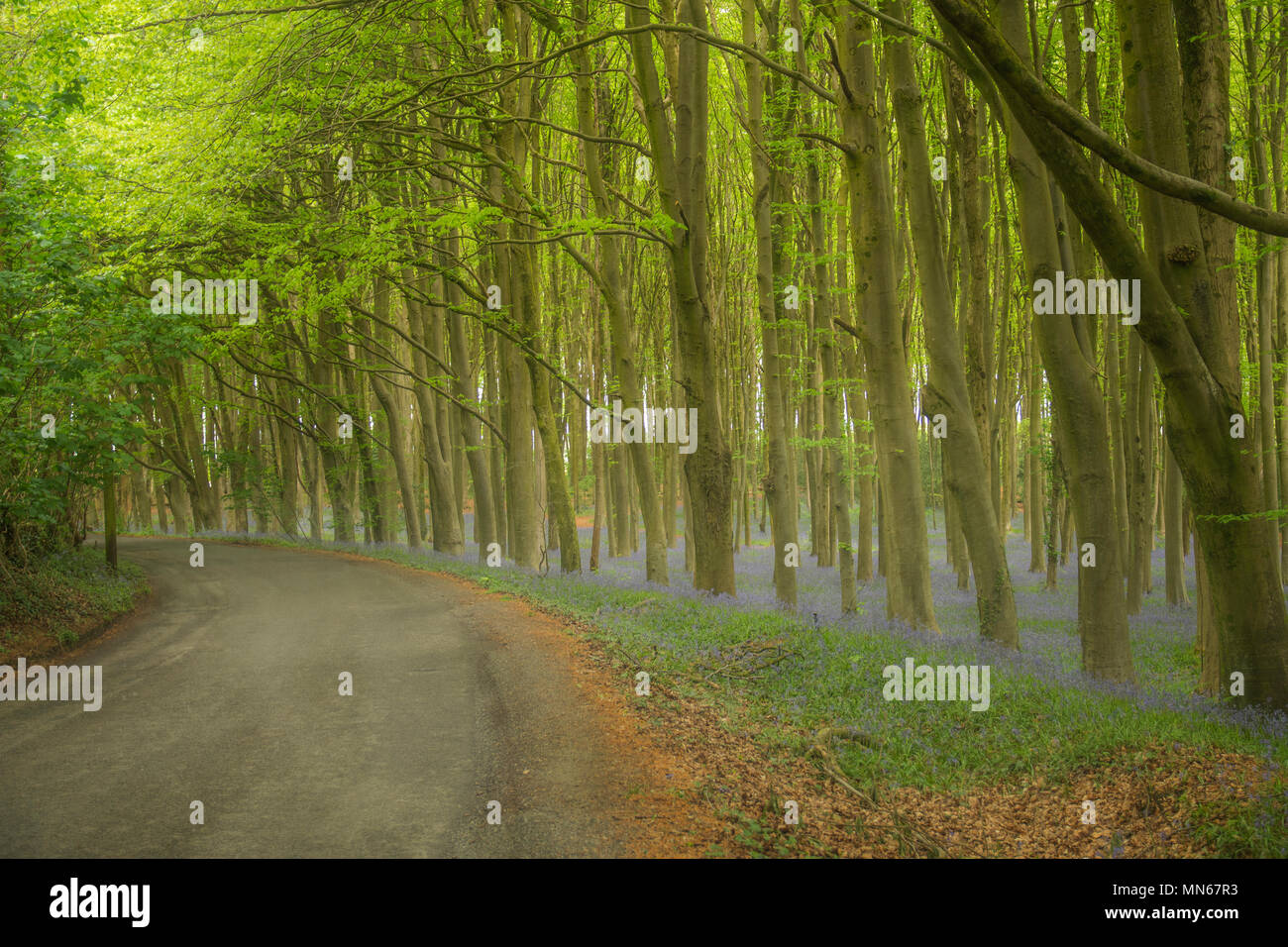 Bluebell woods in etherial light - Stock Image